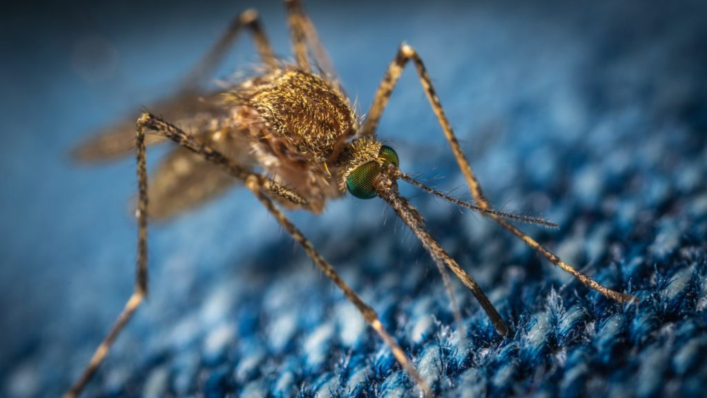 mosquitos spread malaria